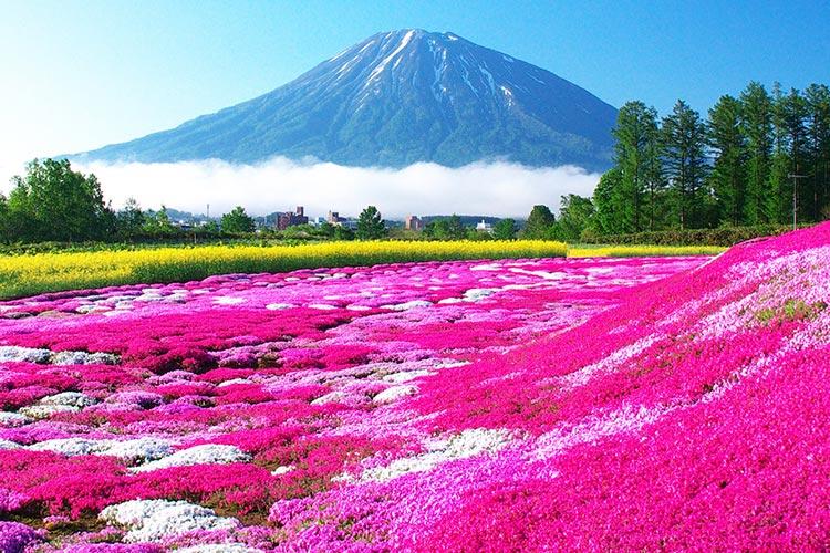 三島先生家的芝櫻庭園